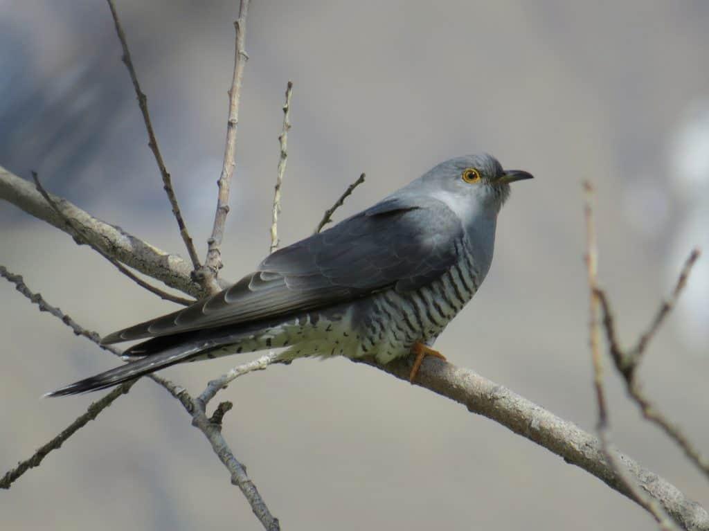 Ein Kuckuck legt die Eier in Nester von anderen Vögel.