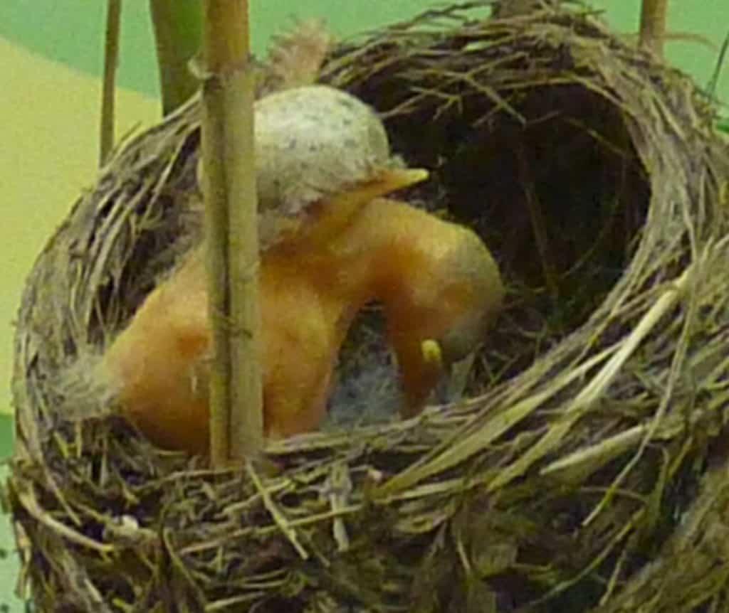 Ein Kuckucksnestling wirft die anderen Eier aus dem Nest.