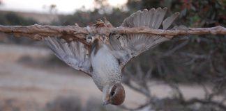 Zugvögel, wie hier der Neuntöter, verwenden qualwoll an solchen Leimruten.