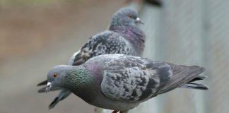 Zwei Tauben sitzen auf einem Geländer.
