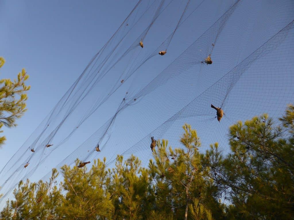 Zugvögel sind in einem Netz gefangen.