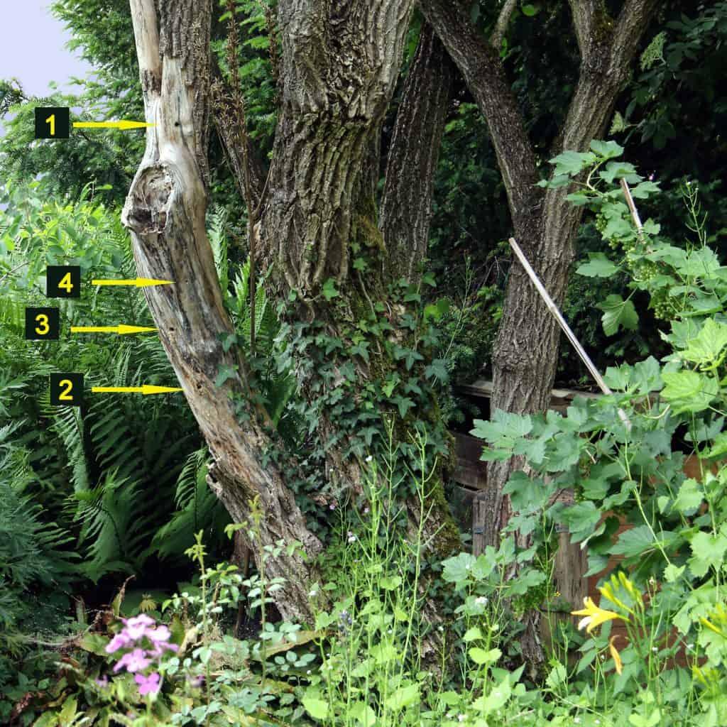 Im Holunderstamm verstecken sich einige Löcher von Holzbinene und einem Grabwespennest.