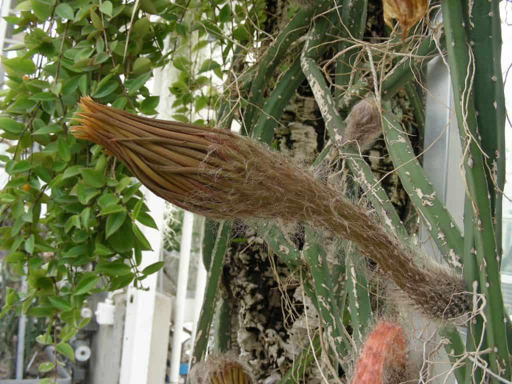 Die Pflanze Königin der Nacht mit geschlossener Blüte.