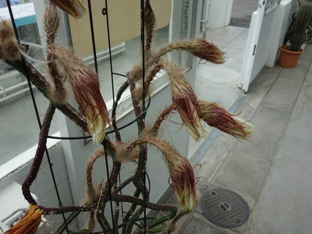 Die Pflanze Königin der Nacht ist verwelkt.