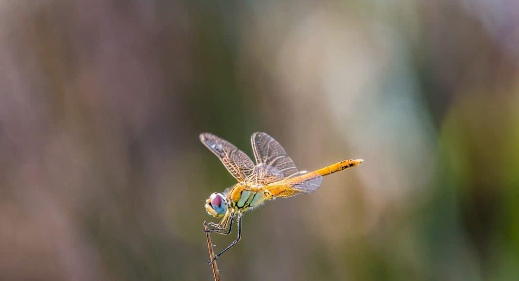 Wie gut kennen sie sich mit den Libellen aus?