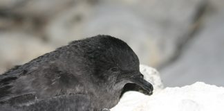 Der Bulwersturmvogel Bulweria bulwerii.