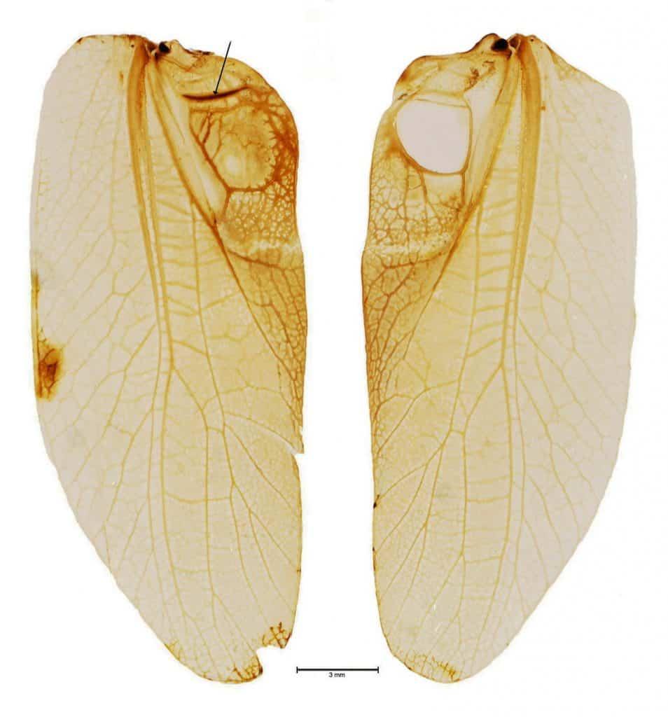 Schrillleiste auf Heuschreckenflügeln sind verantwortlich für das stridulieren.