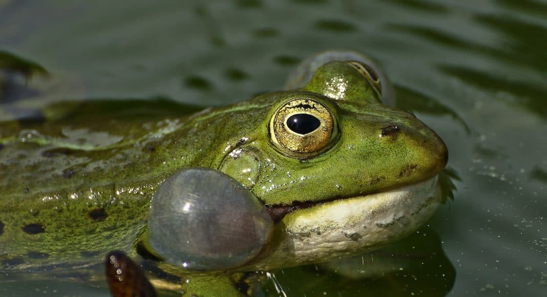 Frosch, der am quaken ist.