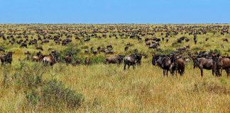 Gnus auf ihrer langen Wanderung durch die Serengeti.