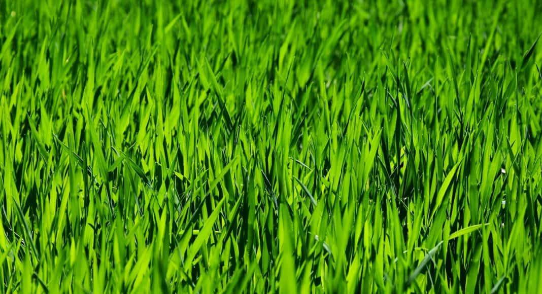 Das Gras verströmt einen herrlichen Duft.