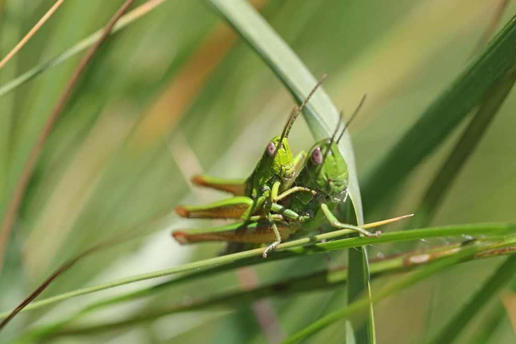 Ein Paar der Kleinen Goldschrecke im Gras.