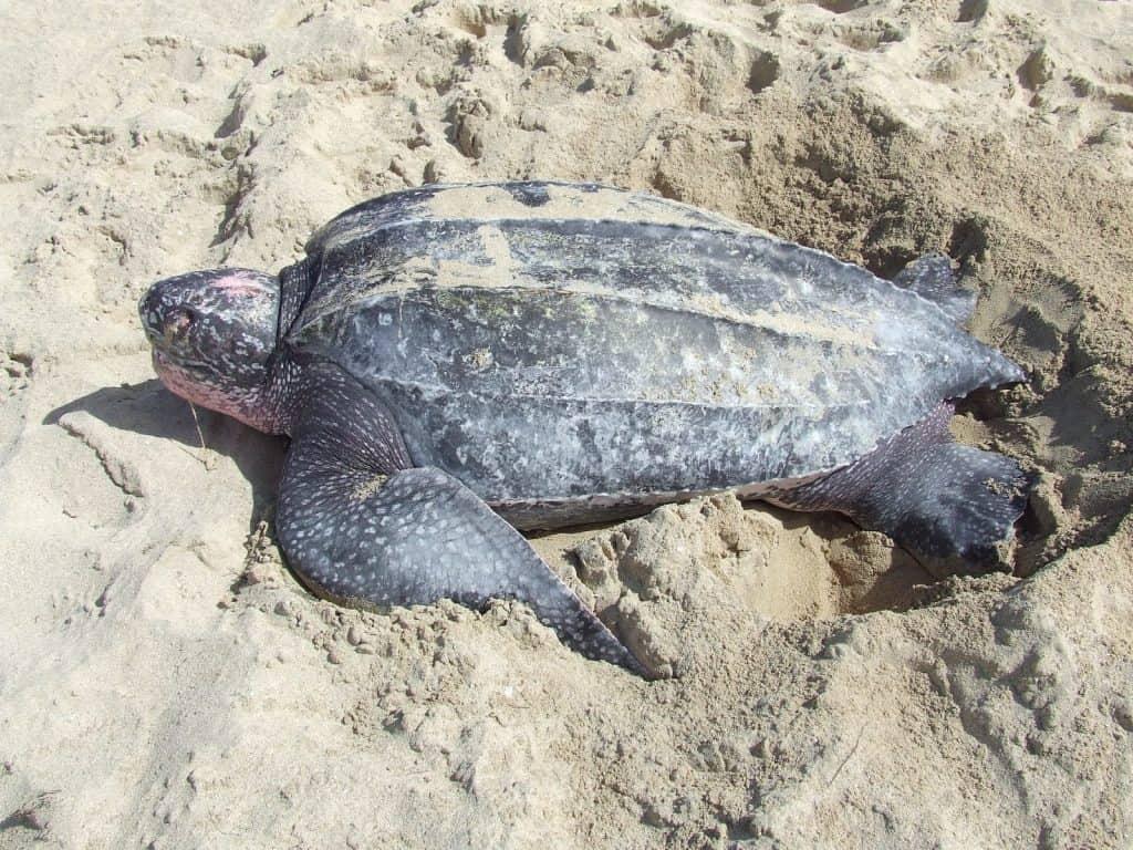 Auch die Meeresschildkröte gehört ebenfalls zu den Zugtieren.