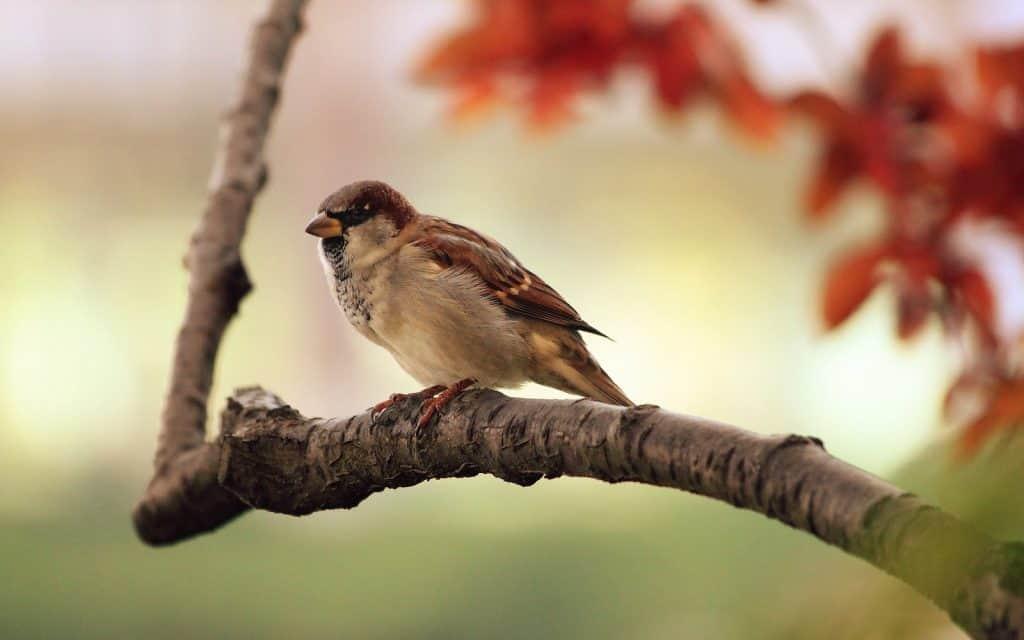 Vögel, wie dieser Spatz, reagieren auf die Sonnenfinsternis indem sie verstummen.