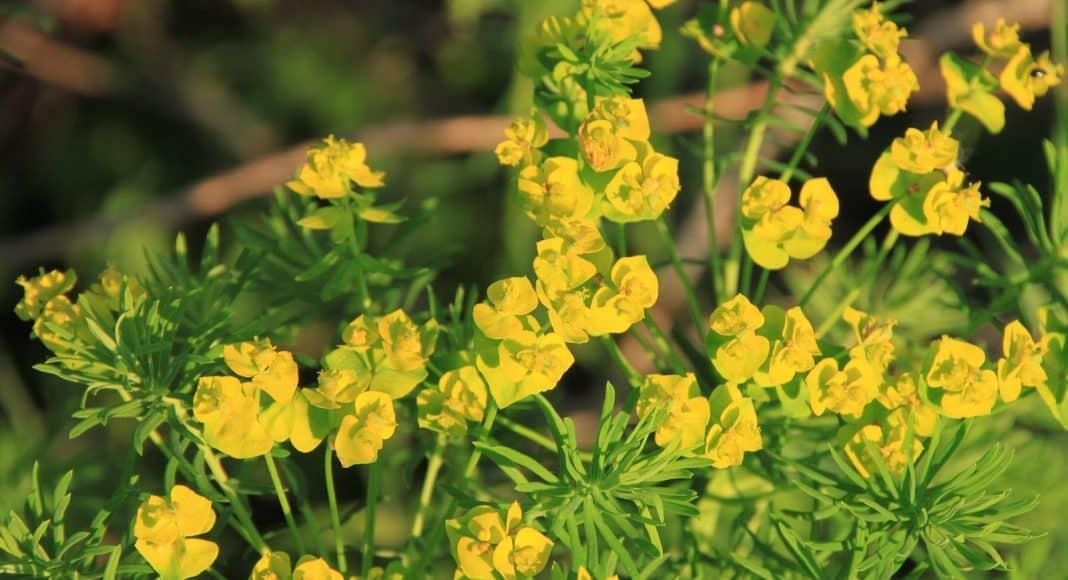 Heilpflanzen und Gift-Pflanzen sind manchmal dasselbe. Im Bild ein Zypressen-Wolfsmilch.