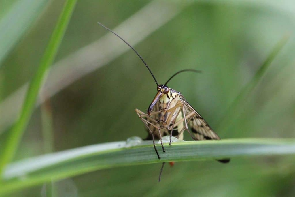 Skorpionsfliege im Gras.