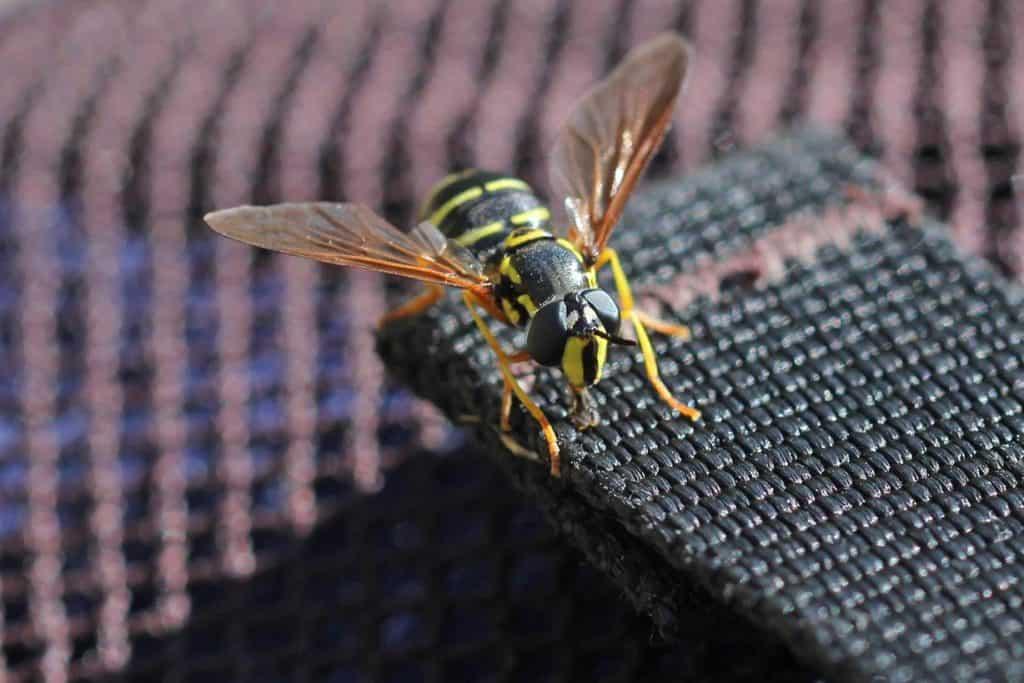 Frühlings-Wespenschwebfliege auf dem Rucksack.