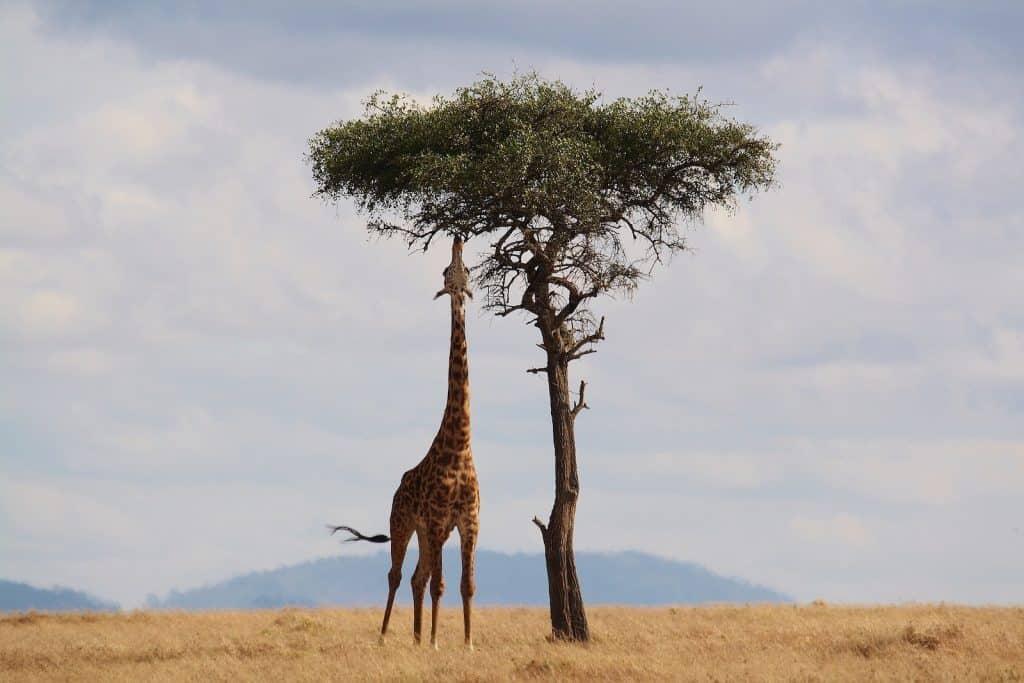 Dank dem langen Hals kommt der Giraffe an die obersten Blätter.