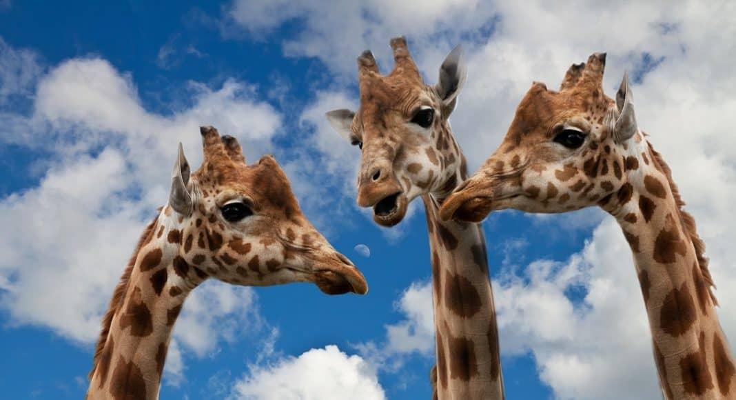 Drei Giraffen Hälse ragen in den Himmel