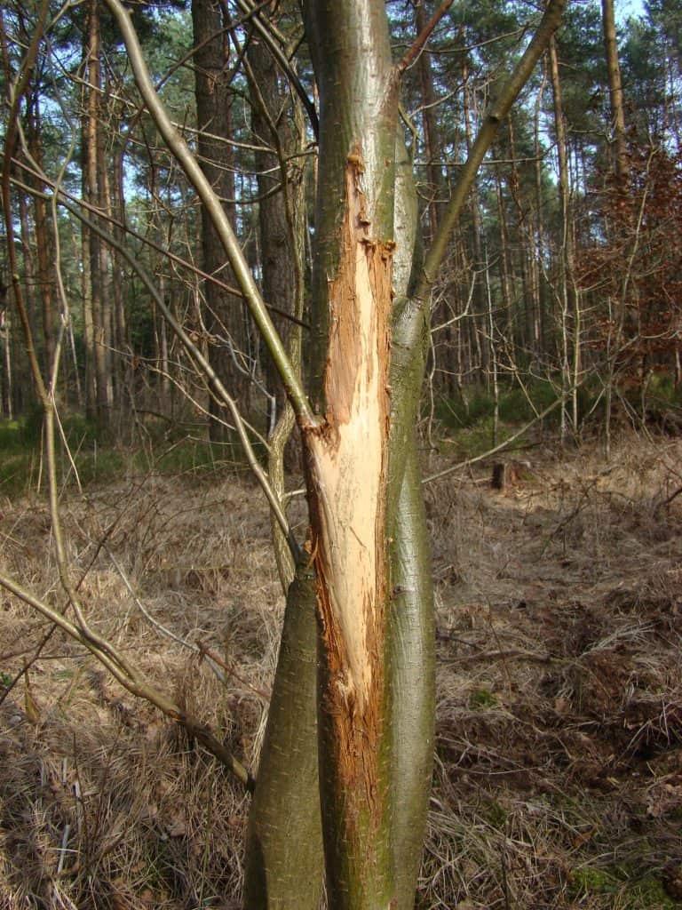 Viele junge Pflanzen wird von Rotwild und anderen Wildtieren angefressen.