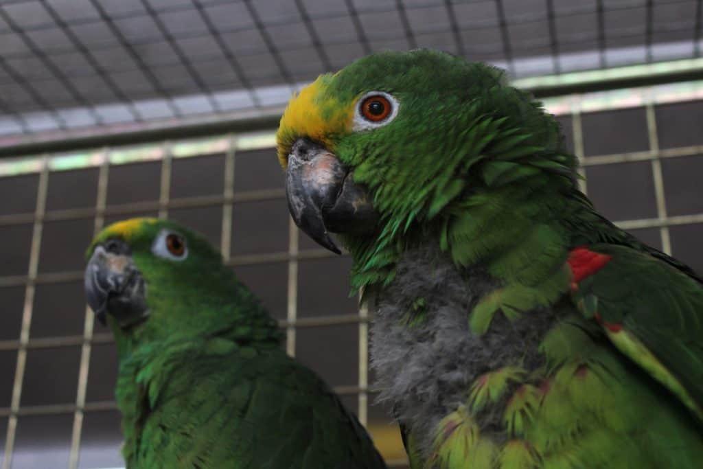 Amazonen Papageien in der Voliere.