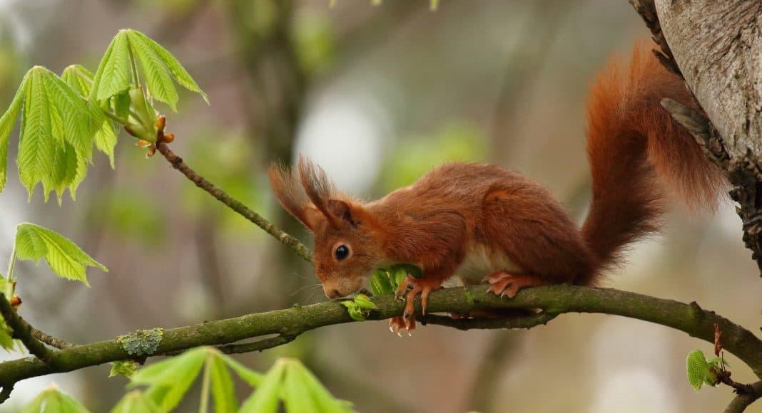 Ein braunes Eichhörnchen sitzt auf einem Ast.