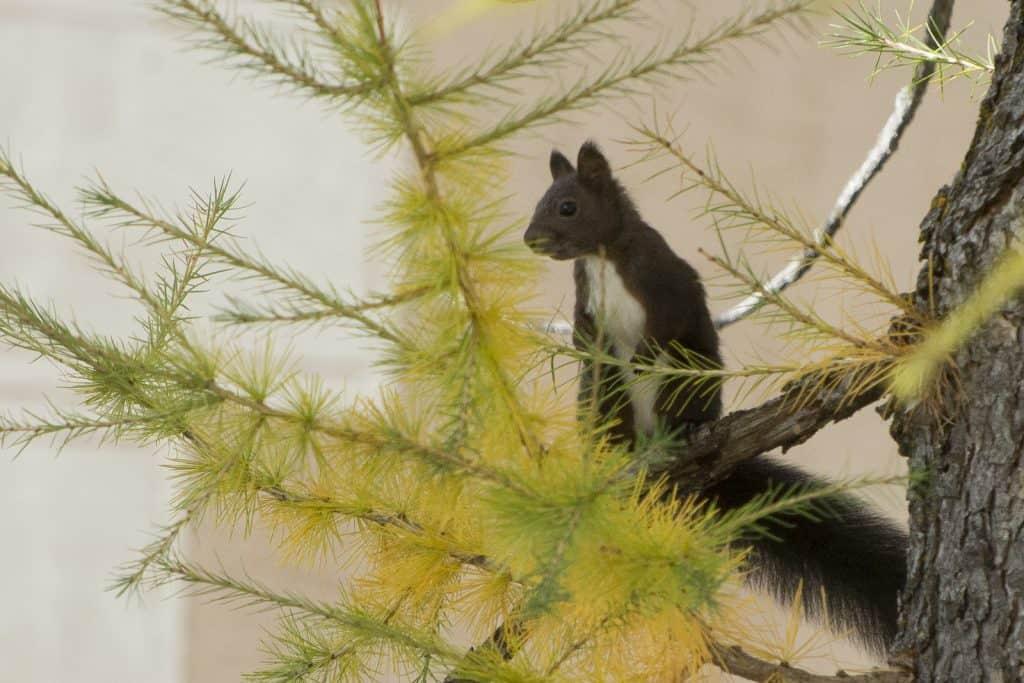 Braunschwarzes Eichhörnchen in einer Lärche.