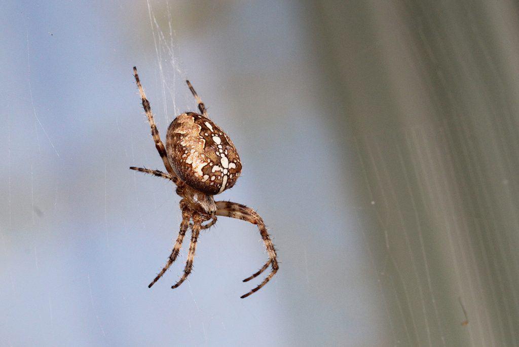 Eine Gartenkreuzspinne in ihrem Netz.