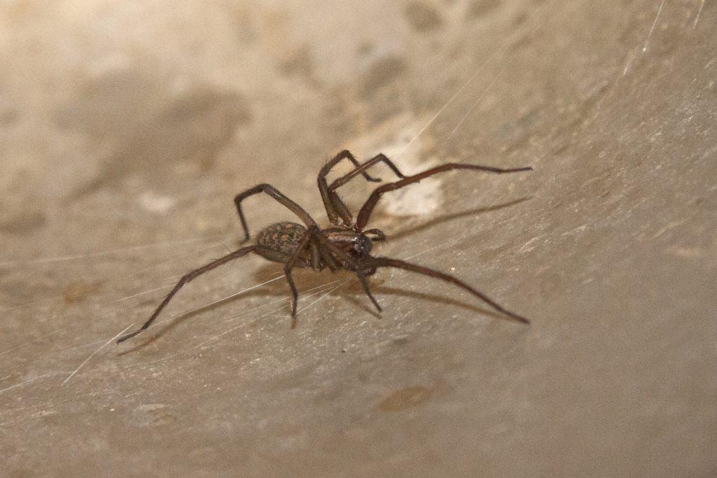 Eine Tegenaria atrica. Diese Spinne wird auch Hausspinne genannt.
