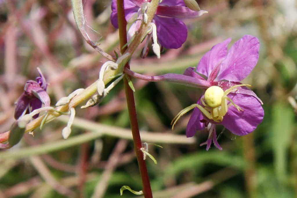 Krabbenspinne auf Blume.