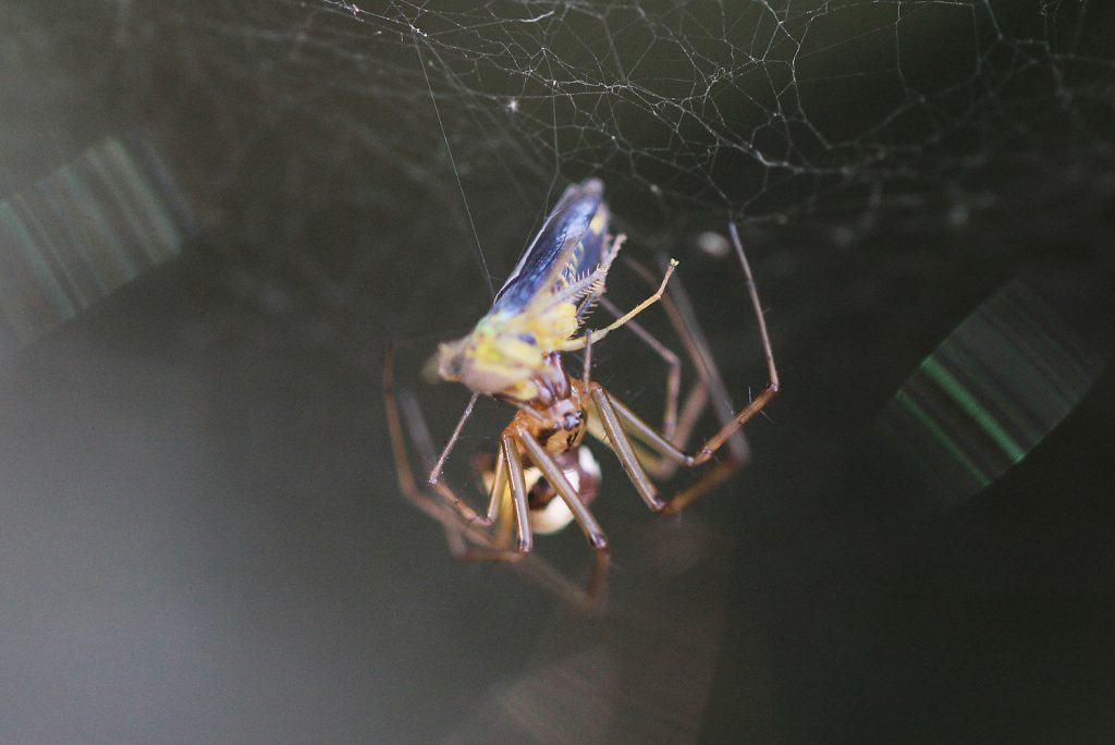 Eine Linyphia triangularis, eine Spinne, hat eine Heuschrecke in ihrem Netz erbeutet.