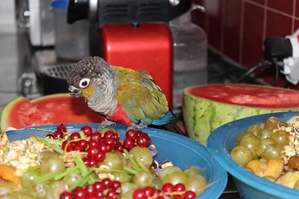 Der Papagei Piranha pickt schon mal einige Obststücker heraus.