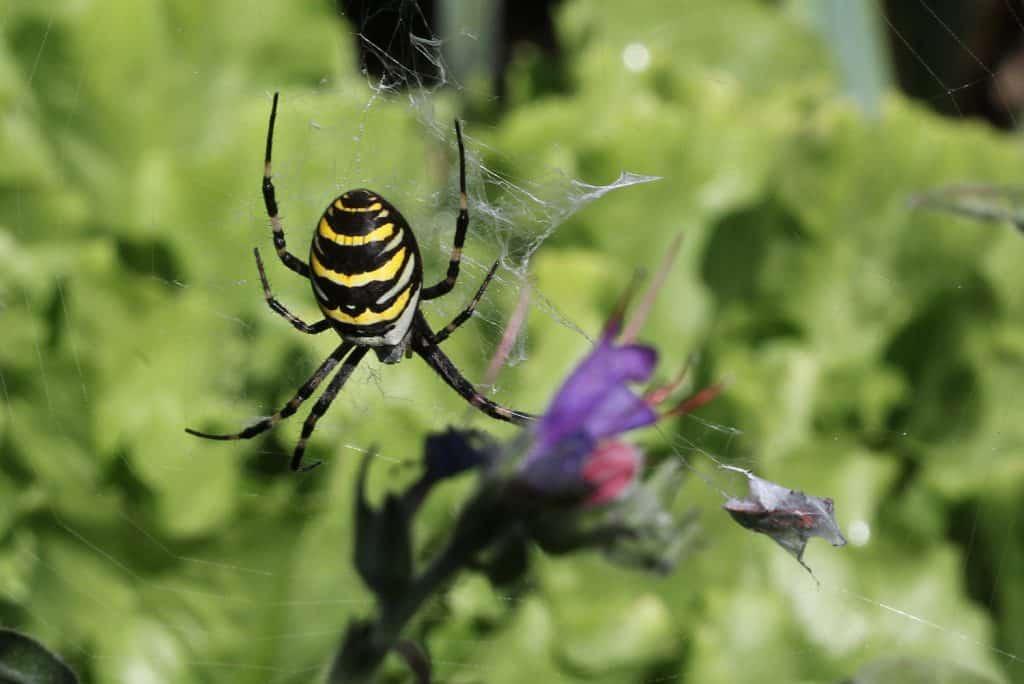 Im Netz der Wespenspinne hat sich eine Feuerwanze verheddert.