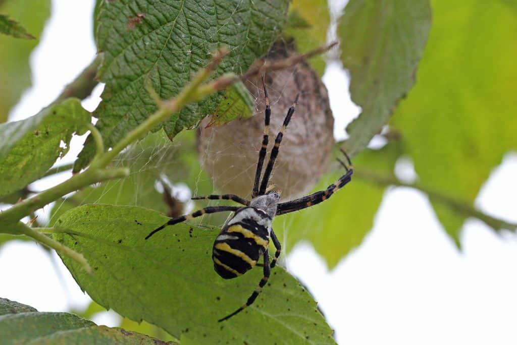 Eine Wespenspinne hängt an ihrem Eikokon.