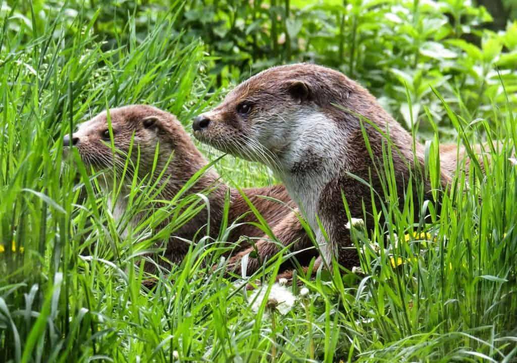 Zwei Fischotter verstecken sich im hohen Gras.