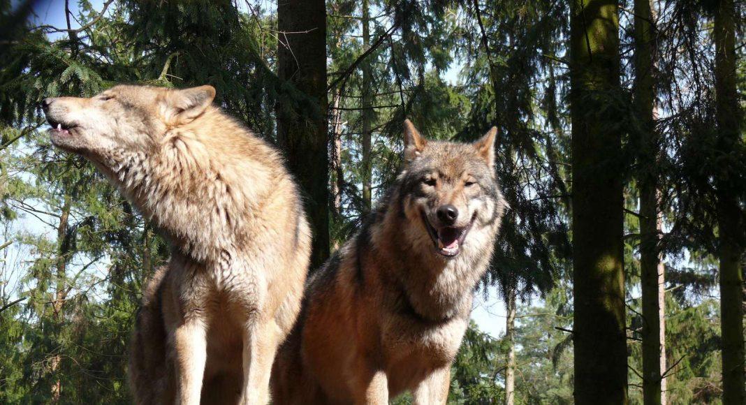 Zwei Jungwölfe liefen in Fotofalle.