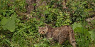 Eine Wildkatze im Wald.