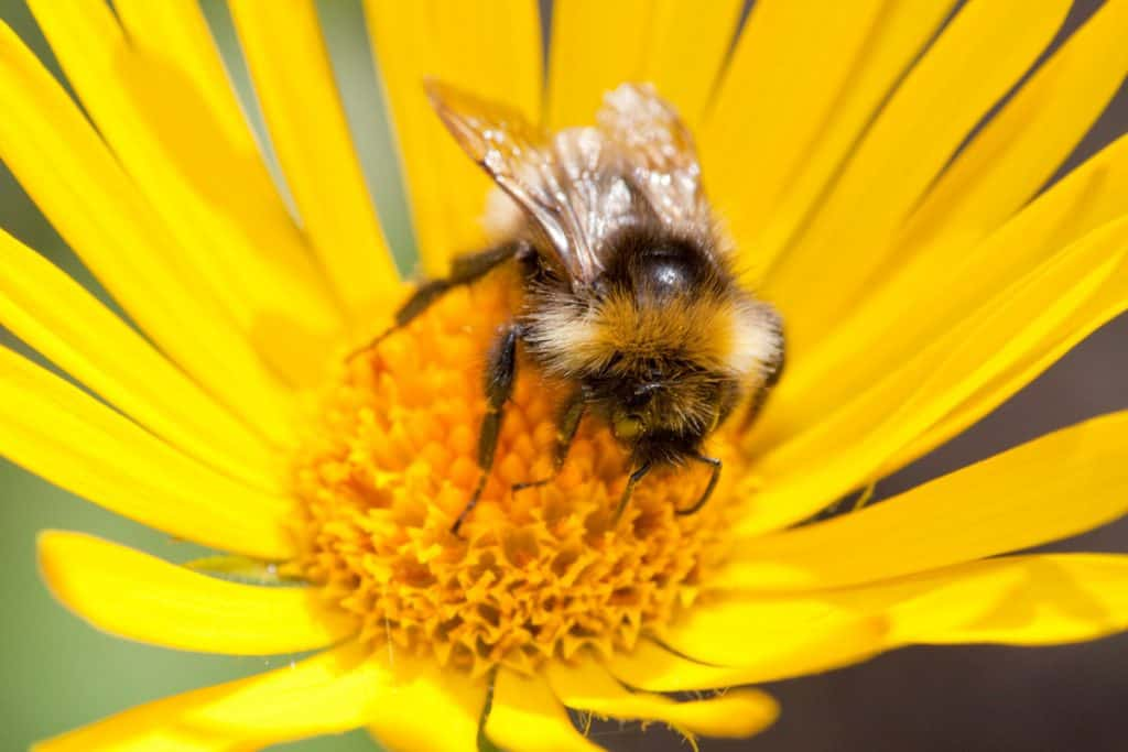 Insekten, wie diese Biene, leiden unter dem Insektensterben.
