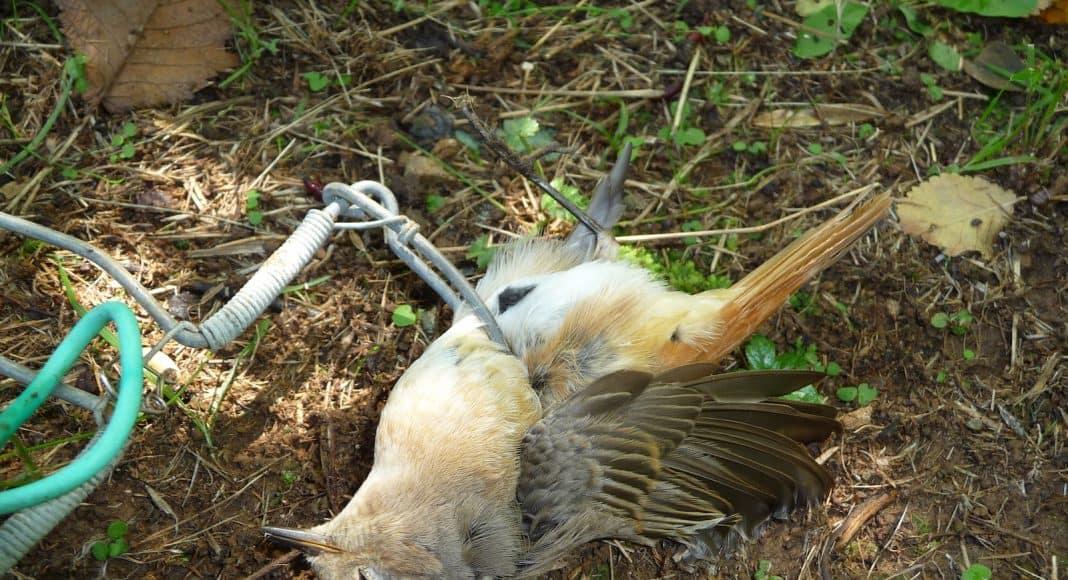 Auch dieser Zugvogel wurde durch Wilderer mit einer Falle getötet.