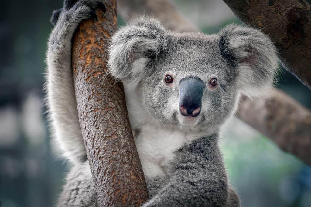 Der Koala ist bedroht. Vor allem wegen dem Klimawandel und dem zunehmenden Verkehr.