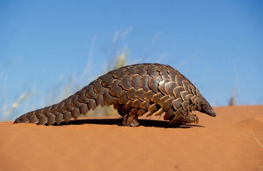 Ein Schuppentier. Sie leiden unter Wilderei und illegalem Handel.