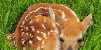 Junge Wildtiere, hier ein Rehkitz, sind immer wieder bedroht.