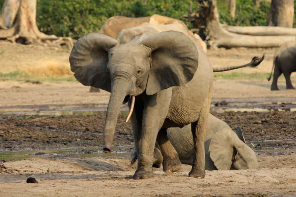 Die Zentralafrikanischen Elefanten leiden besonders unter Wilderei.