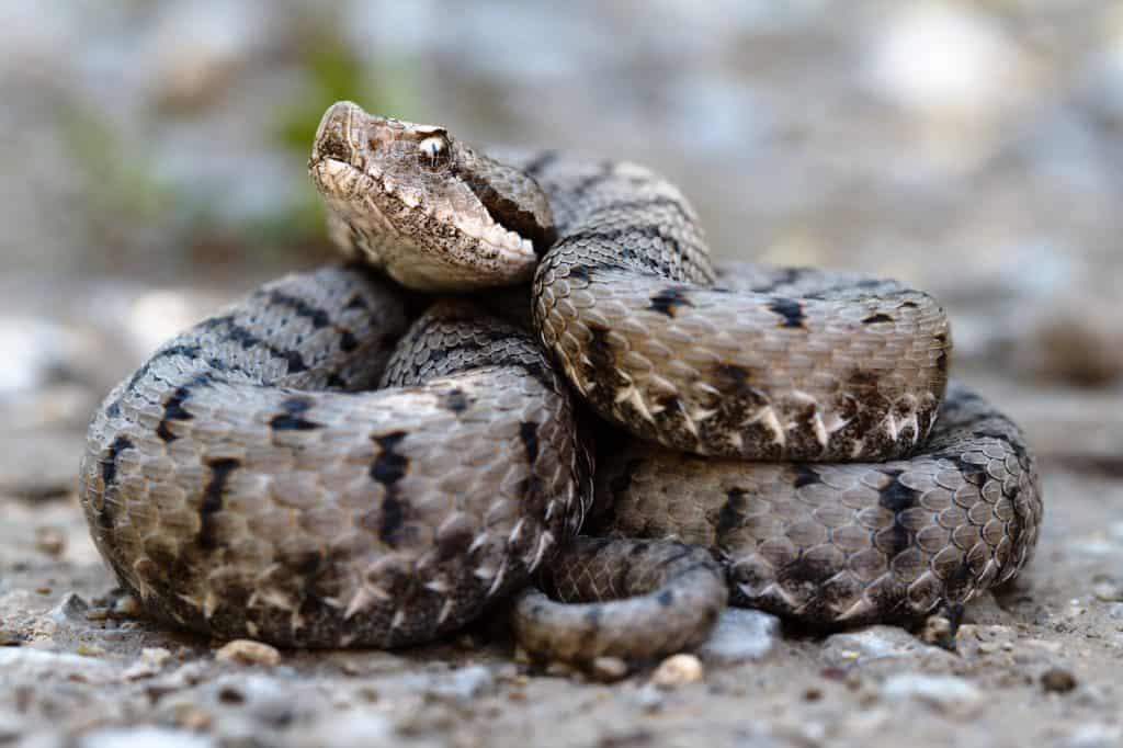 Eine der beiden giftigen Schlangenarten in der Schweiz.