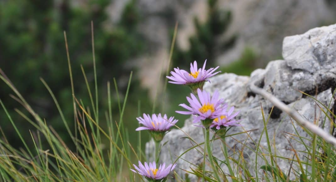 Die Flora der Alpen weicht wegen dem Klimawandel immer mehr in die Höhe aus.