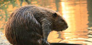 Hier sieht der Biber sehr friedlich aus, aber im Viedo sieht man, dass er gegen Otter auch austeilen kann.