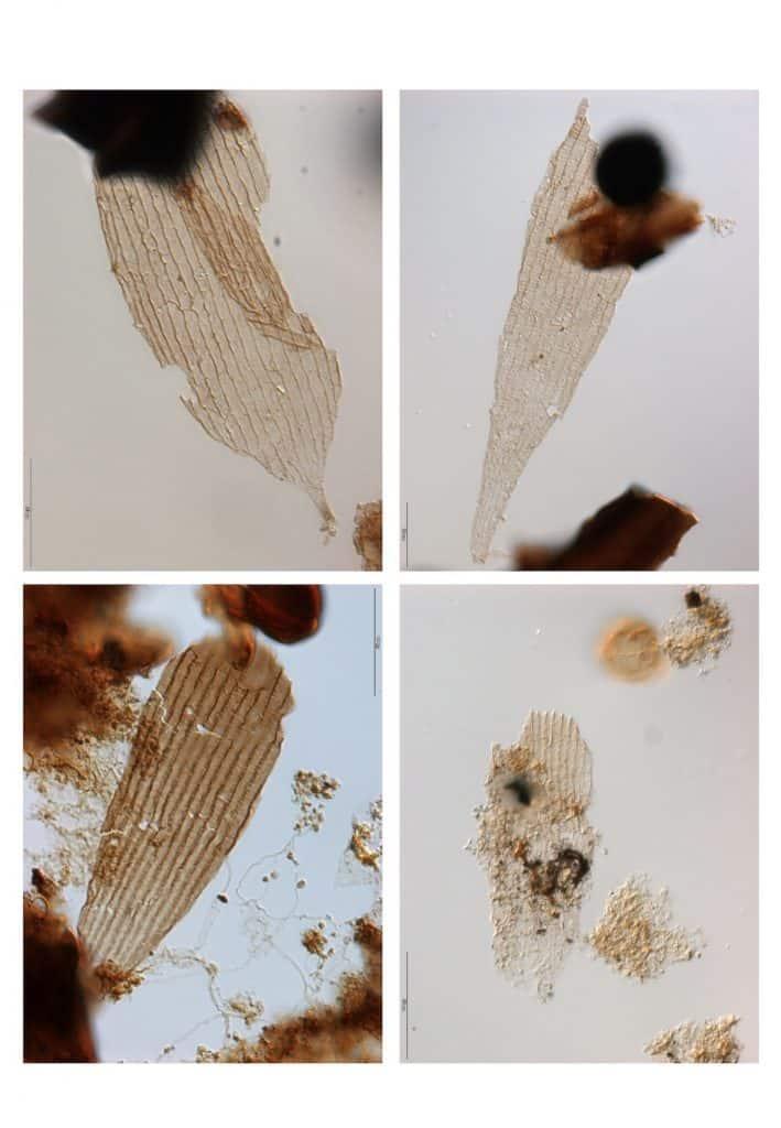 Fossile Schuppen von Schmetterlingen.