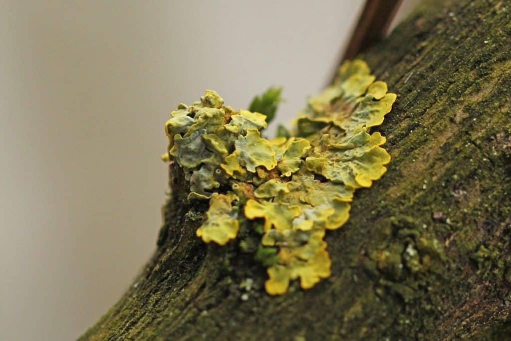 Eine Gelbflechte wächst auf dem Stamm.