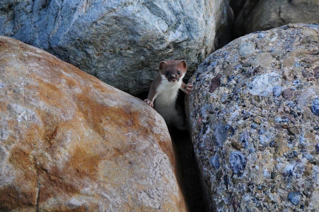 Das Hermelin ist das Tier des Jahres.