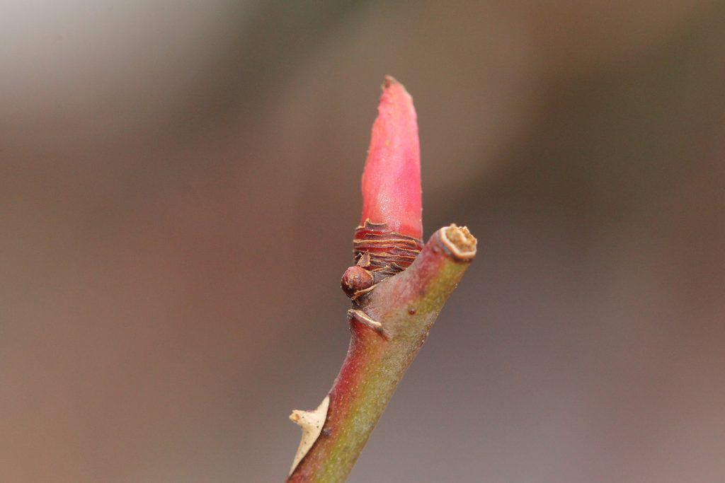 Eine einzelne Knospe spriesst aus einer Rose.