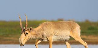 Der Temperaturanstieg und damit verbundene Bakterienwachstum war verantwortlich für das Massensterben der Saiga-Antilope.